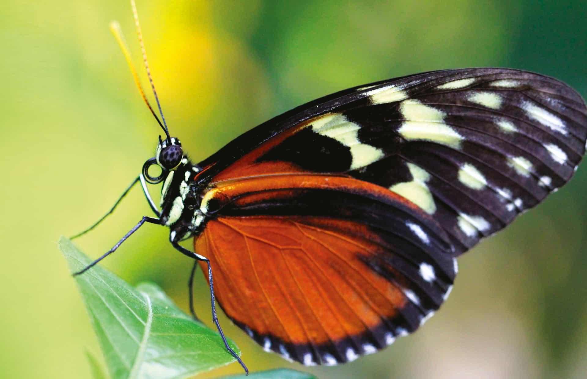 Alt om sommerfuglen