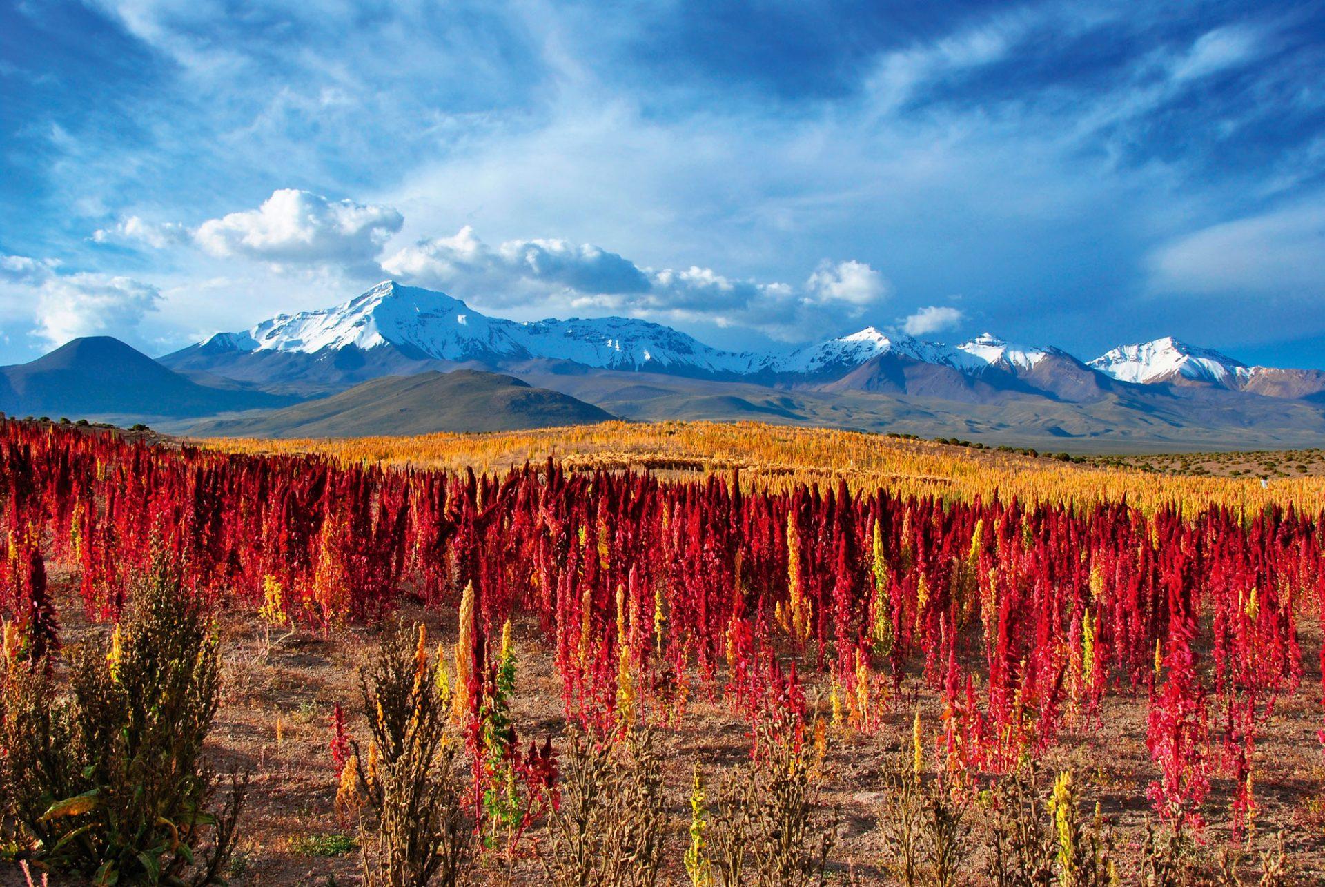 Quinoa, Chilequinoa-i-chile