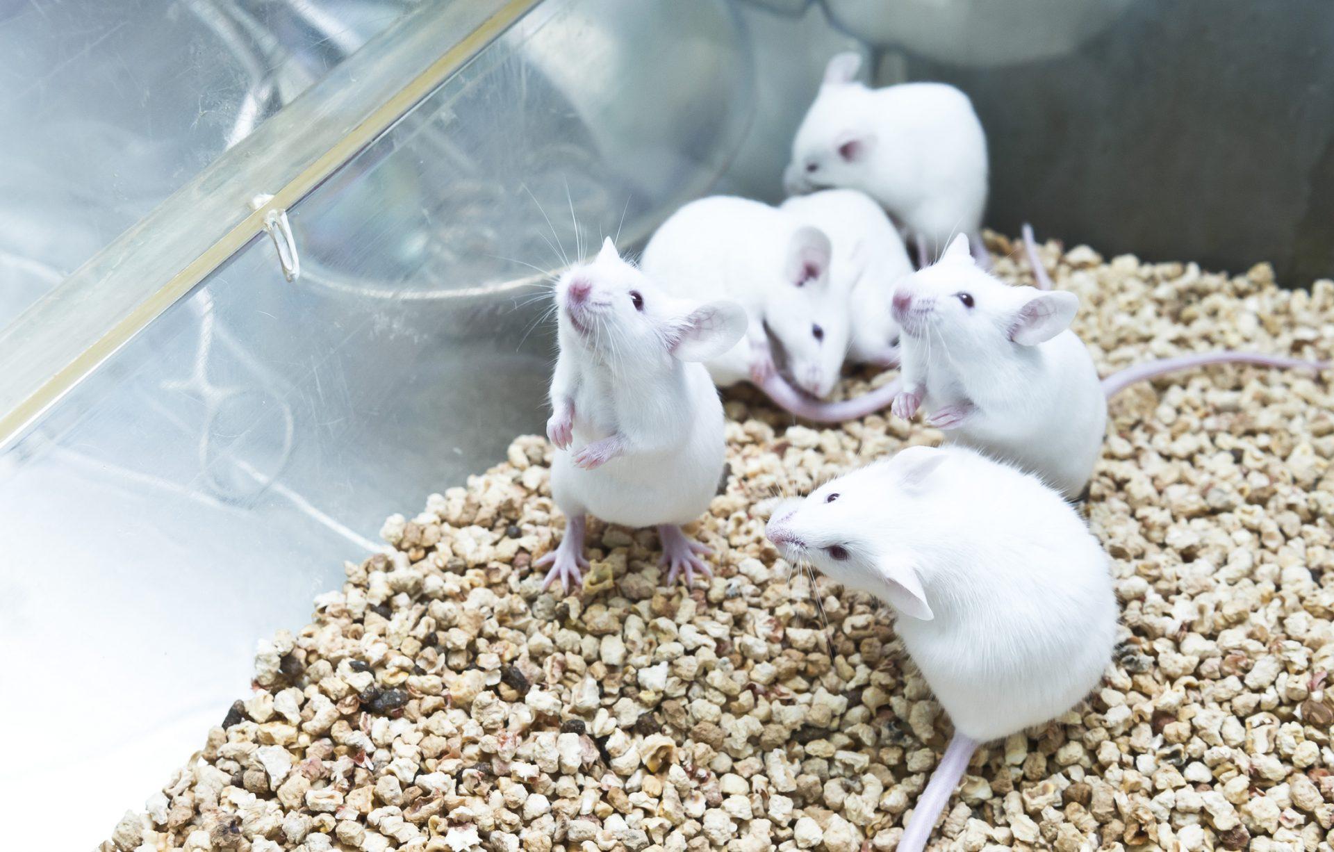 Små hvite mus i et bur