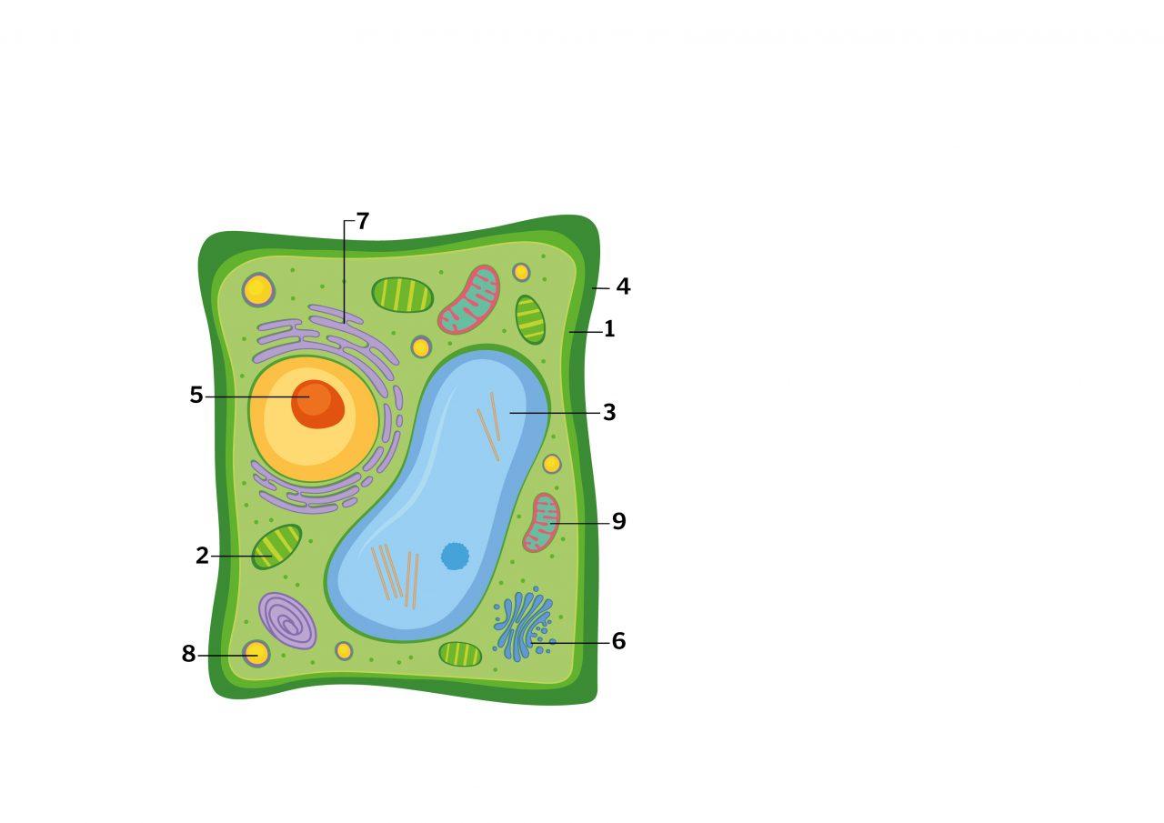Illustrasjon av hvordan en plantecelle er oppbygget