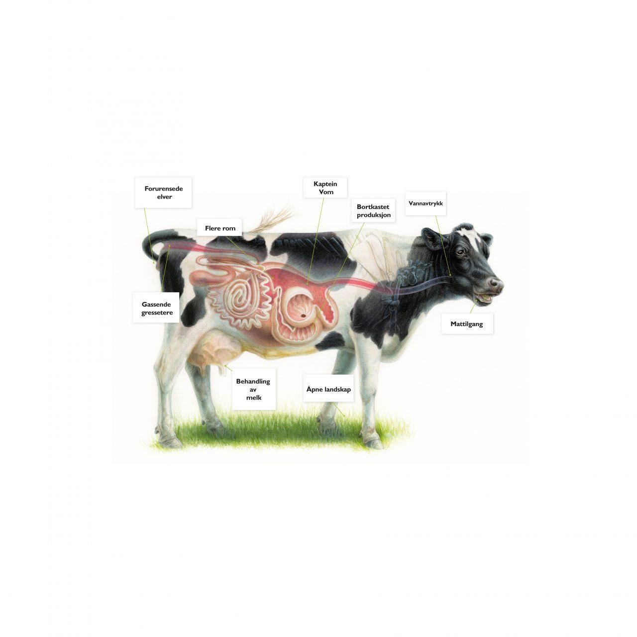 Hvordan påvirker kua miljøet