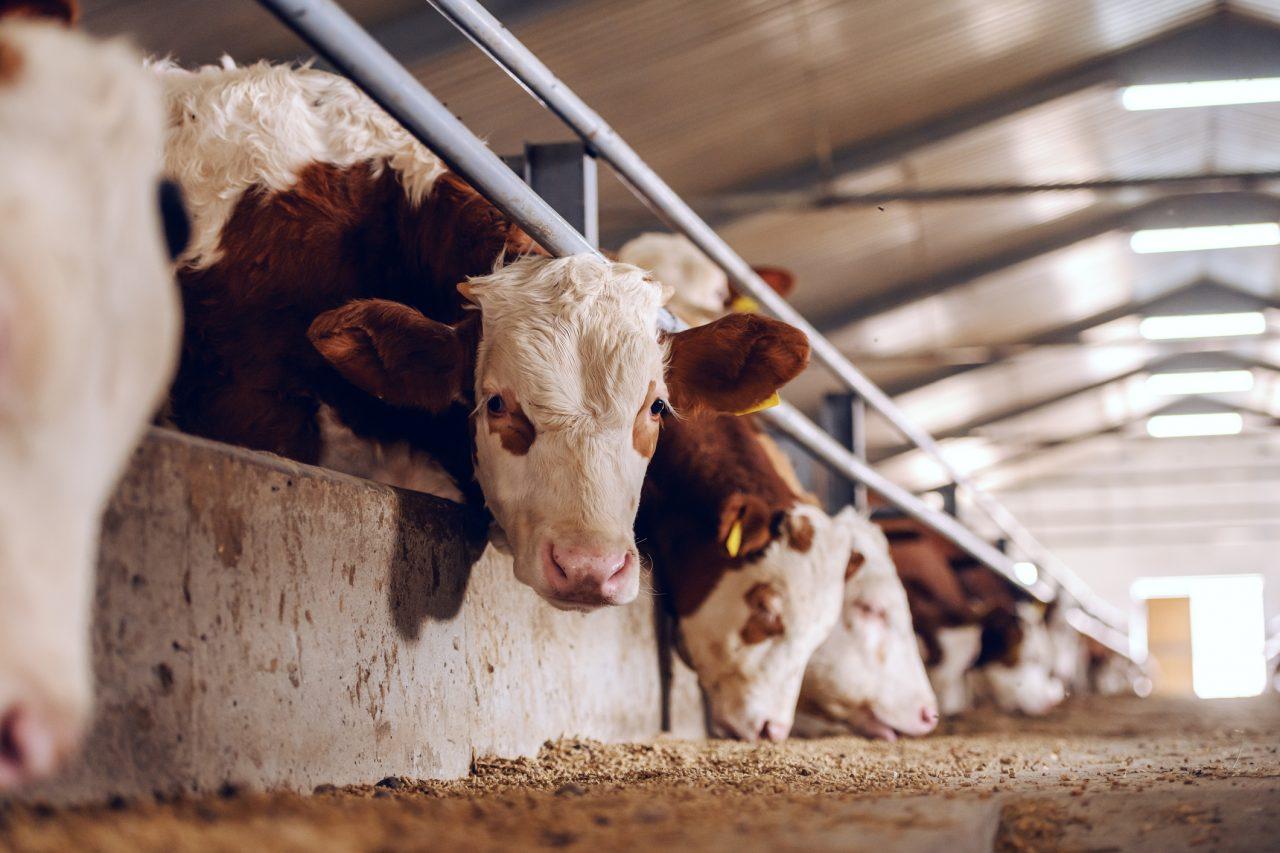 Kyr som ser inn i kamera