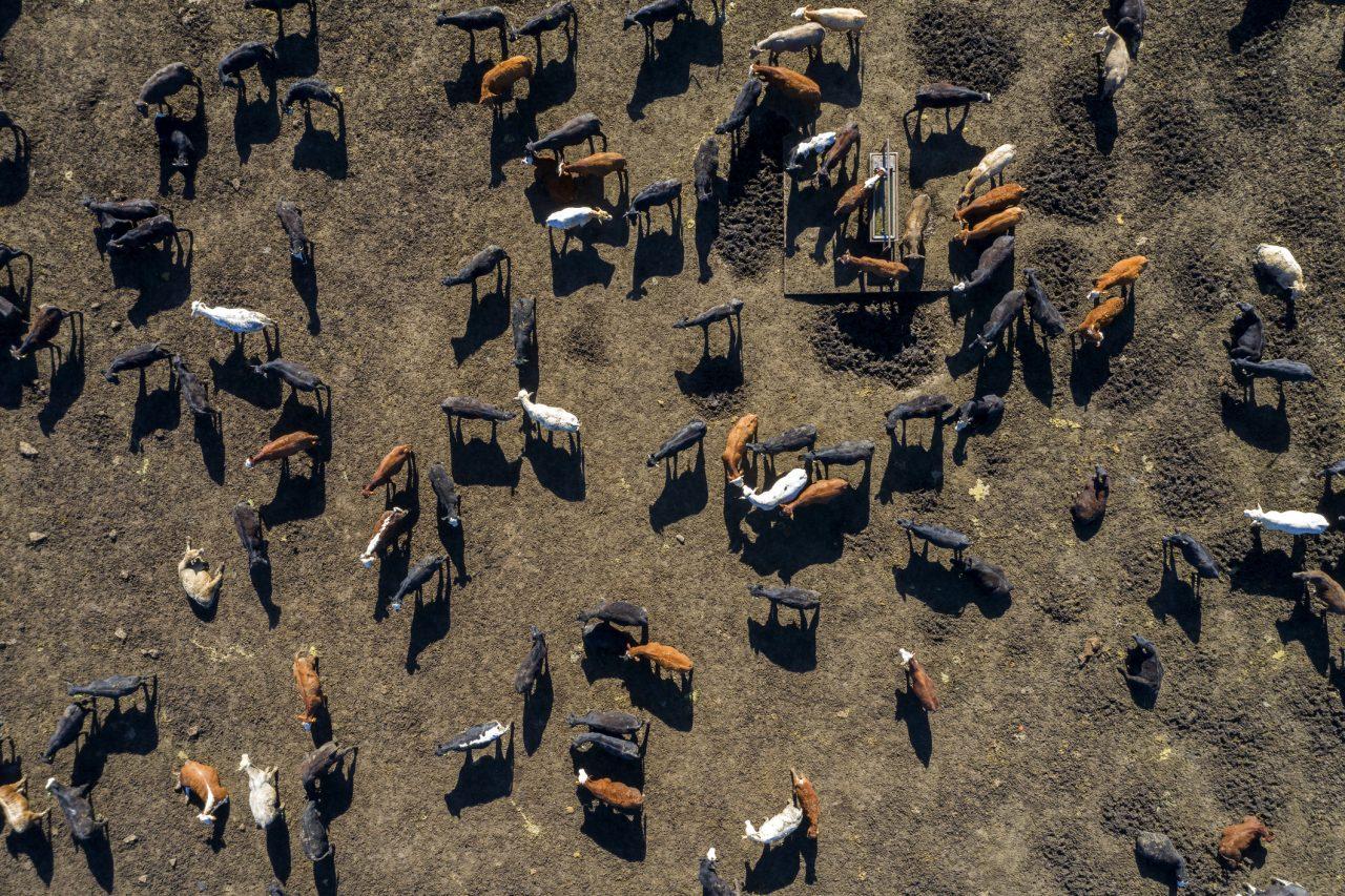 Flyfoto av storfe i Texas, USA