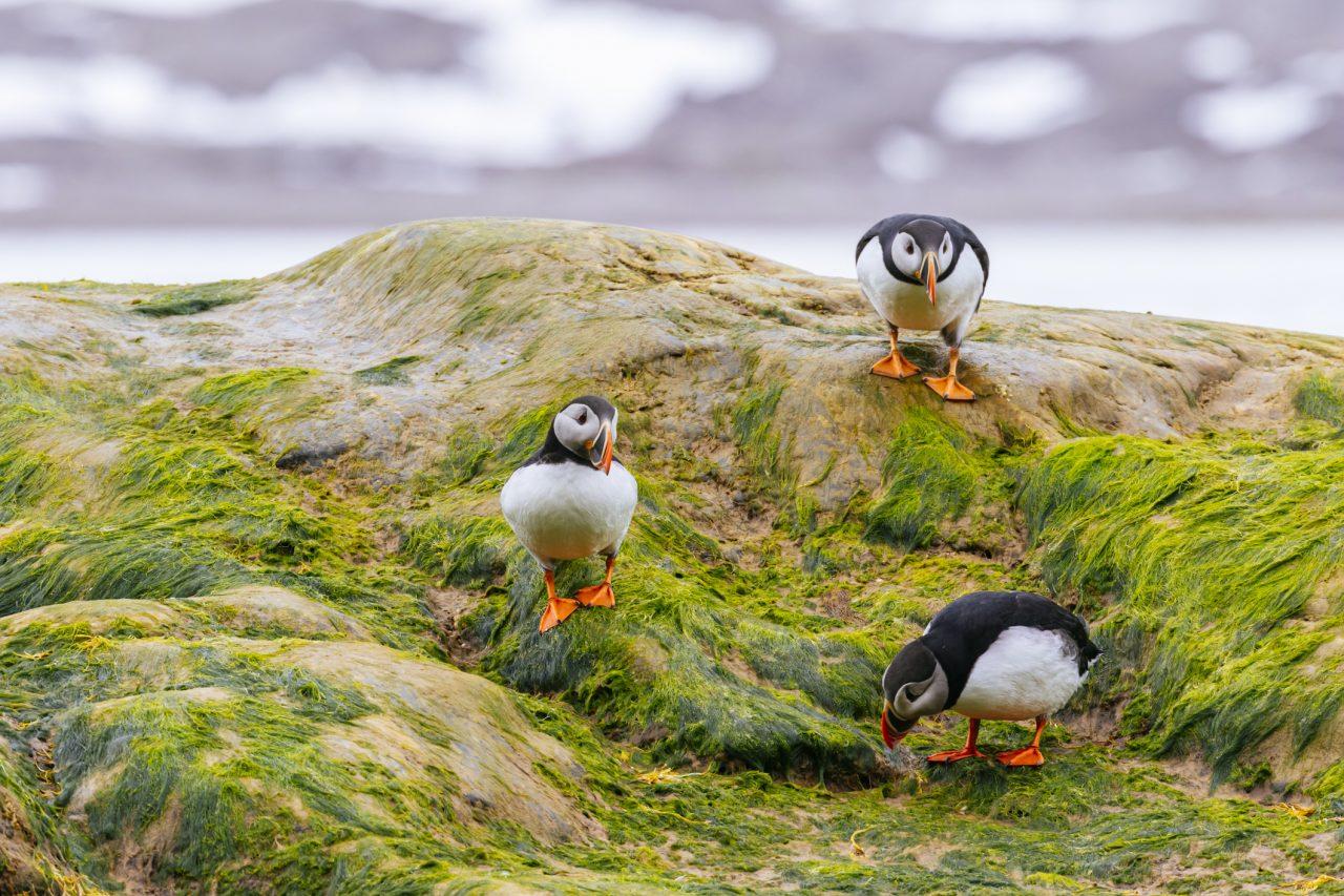 Tre lundefugler på Spitsbergen i Svalbard