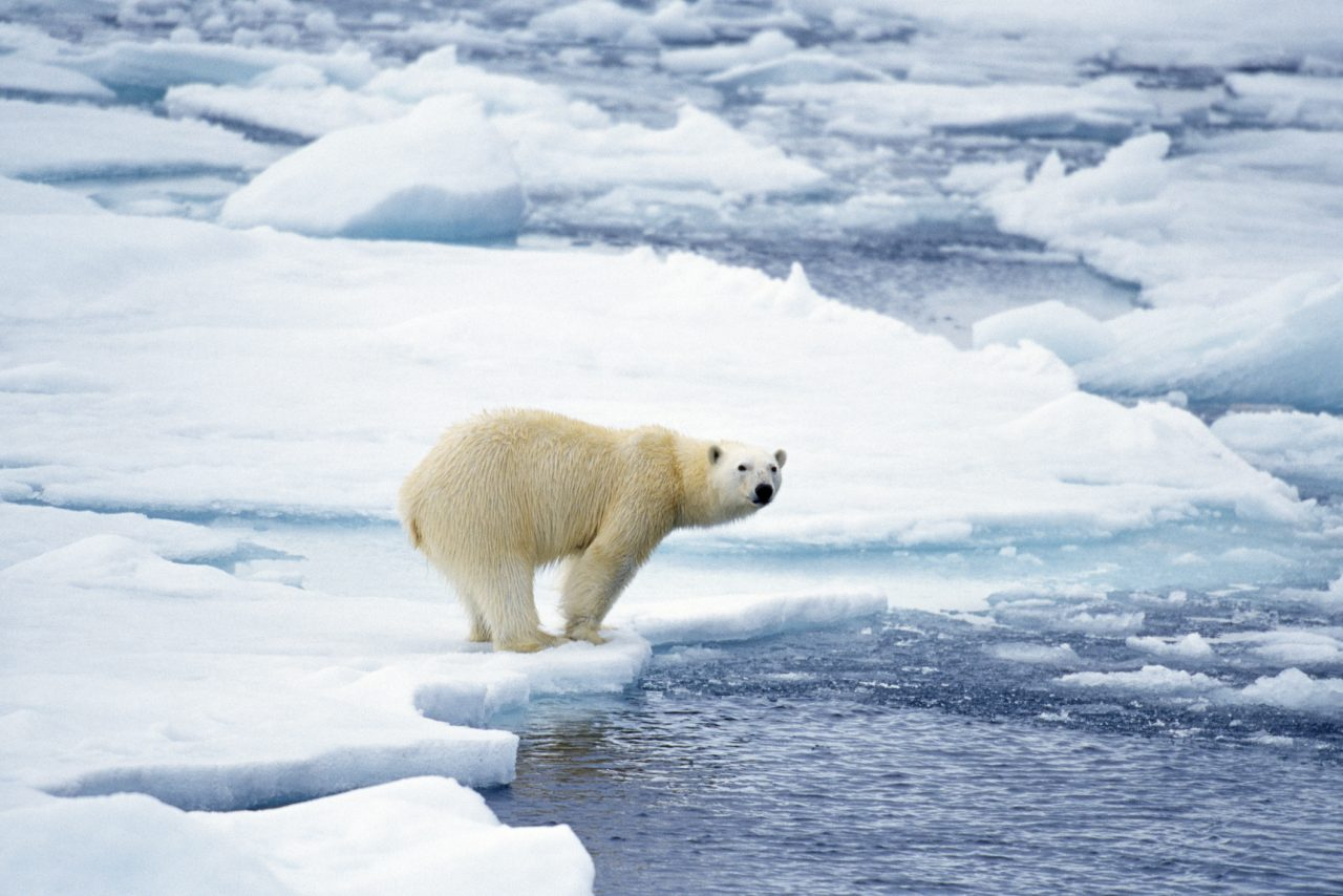 Isbjørn i Spitsbergen på Svalbard