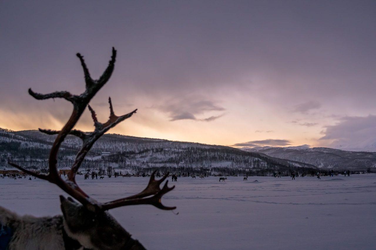 Reinsdyr i Tromsø