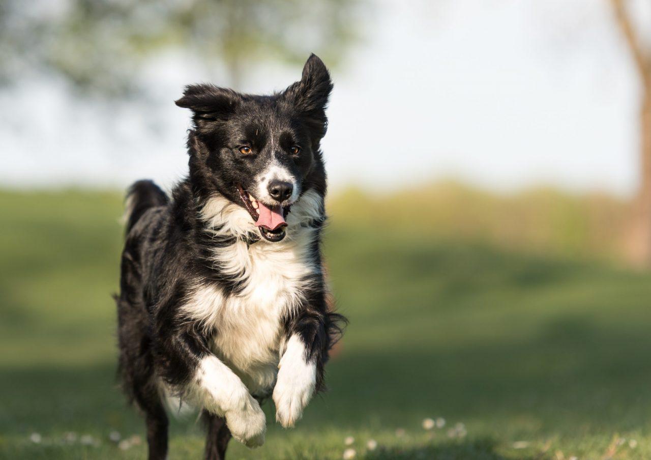 Border collie løper på en gresslette