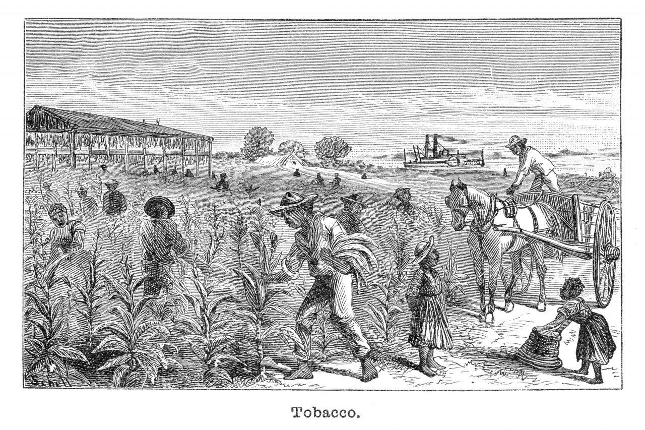 Tobakkplantasje