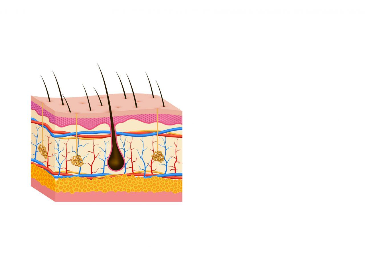 Anatomi av huden