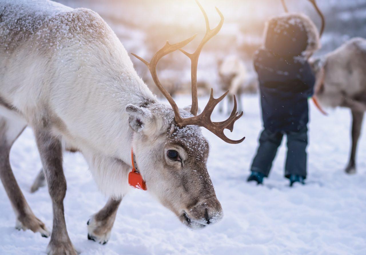 Barn som jobber med reinsdyr