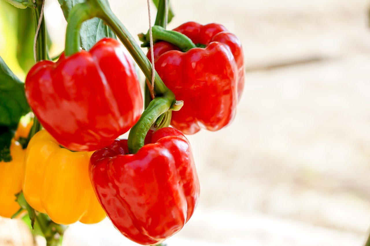 Rød paprika