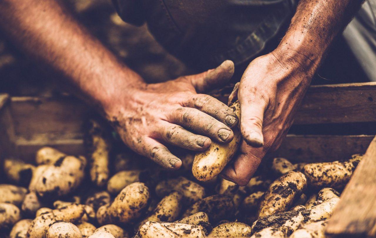 Hender og poteter med jord
