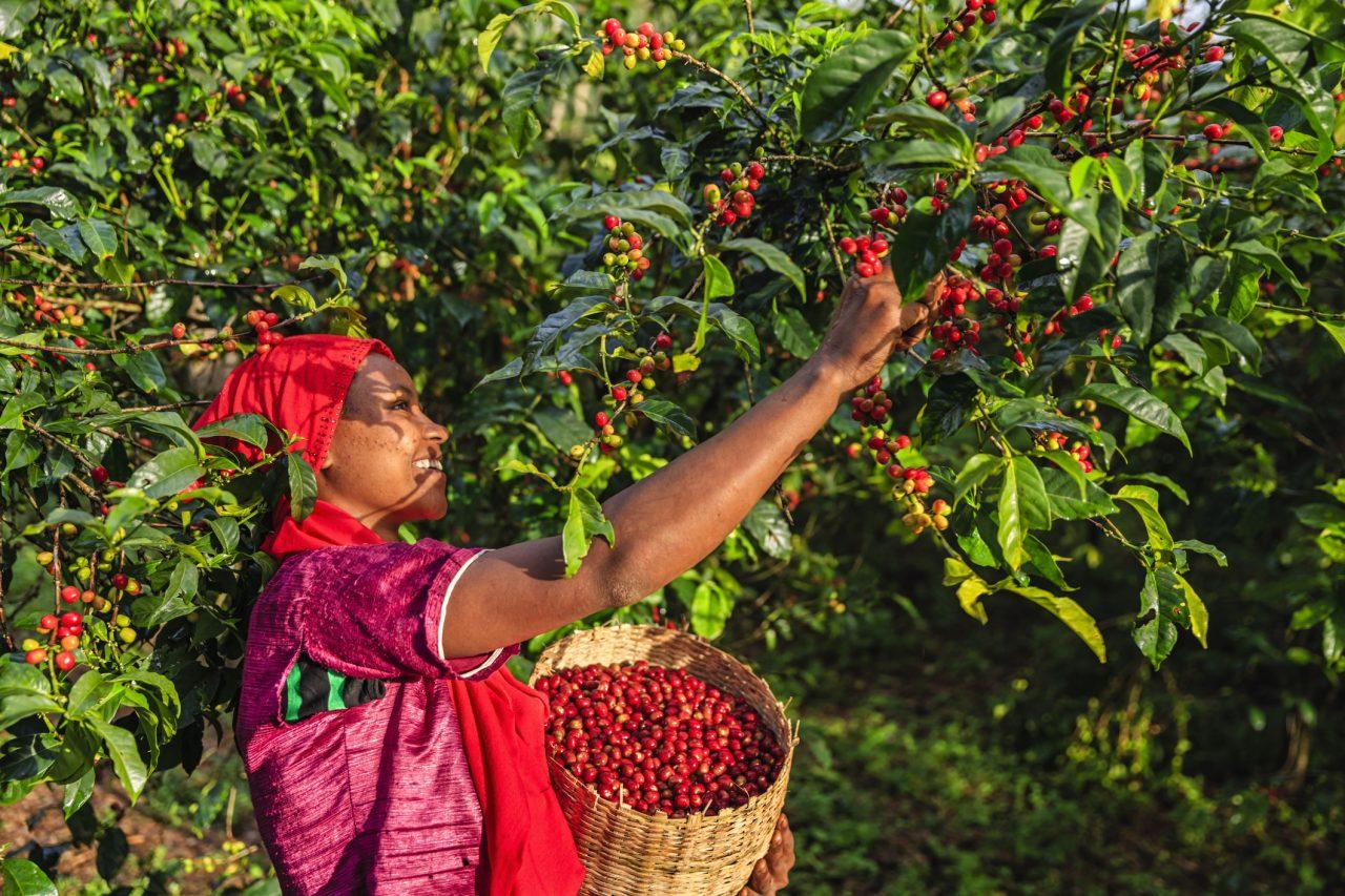 Kaffebønner i Etiopia