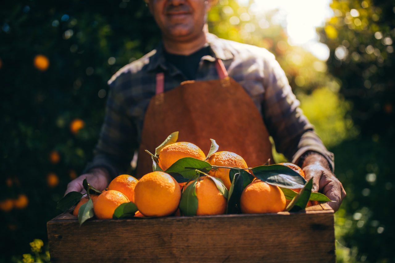 Appelsinhøsting